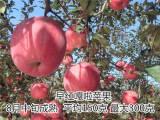 烟富6号苹果树苗
