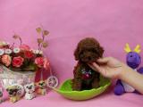 狗市可以买到纯种泰迪犬吗 多少钱一只