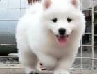 杭州纯种萨摩耶低价出售萨摩耶银狐幼犬活体微笑天使萨摩耶宠物