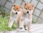 东莞纯种柴犬幼犬出售 专业繁殖高品质柴犬幼犬 欢迎来场挑选