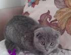 英短蓝白幼猫出售中!