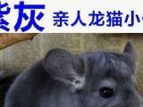 自家繁殖紫灰mmDD2-3月大,健康萌萌哒