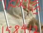 求购红白加菲母猫