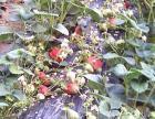 生态草莓采摘 个人