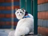 布偶猫幼崽活体蓝双海双仙女猫纯种活体猫咪