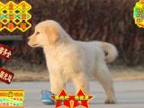 英系美系(金毛犬) 赛级品质纯种保健康,包退换