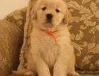 正规犬舍繁殖金毛等名犬 健康保障签协议包活可送货