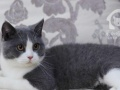 英国短毛猫种公借配