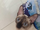 爸爸血统淡紫色暹罗猫1800元一直暹罗咪咪