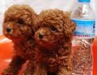 云南哪里买泰迪 昆明什么地方卖狗 泰迪价格