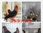 养殖元宝鸽肉鸽观赏鸽