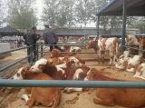 沈阳急需出售2000头西门塔尔牛,肉牛犊,改良黄牛,养牛
