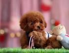 纯种卡哇伊泰迪熊出售 玩具微小型泰迪熊 健康纯种