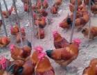 家禽养殖养鸡养鸭养鹅长期出售鸡苗鸭苗鹅苗免费传授科学养殖技术