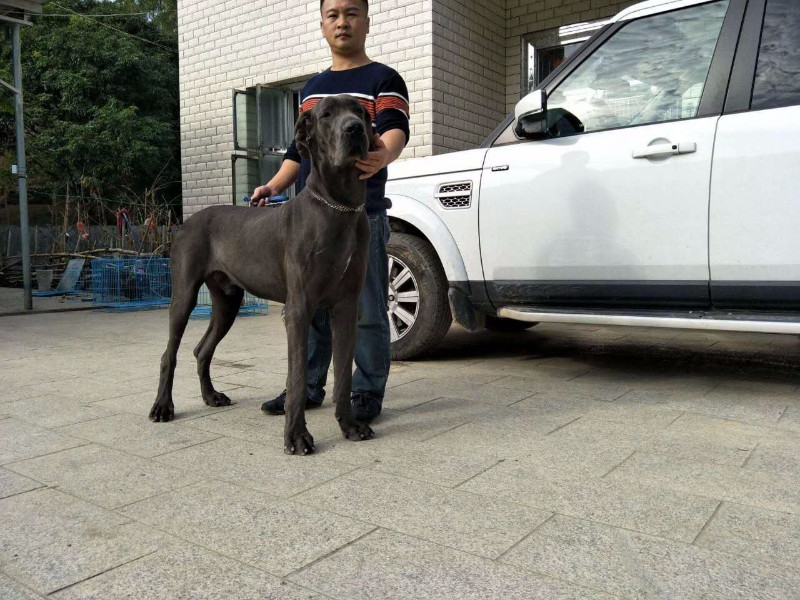中山大丹犬专业养殖基地出售品质纯种品相优良