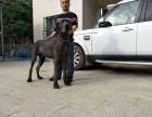 上海金山大丹犬欧洲引种纯种繁殖品相可看
