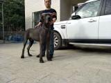 北京北京周边大丹犬欧洲引种纯种繁殖签证包活同城送货上门