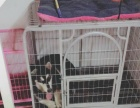 金毛犬,阿拉斯加犬专用大型笼子,