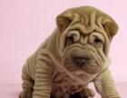 上海沙皮犬幼犬多少钱一只 上海哪里有卖沙皮犬 沙皮犬价格