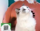 烟台哪里有布偶猫出售 烟台布偶猫价格 烟台宠物猫转让出售
