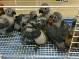烟台宝宝鸟园鹦鹉专卖