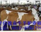 肉牛价格 安徽育肥牛价格 西门塔尔牛价格