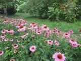白晶菊供应_市场上具有口碑的节日草花在哪里可以找到
