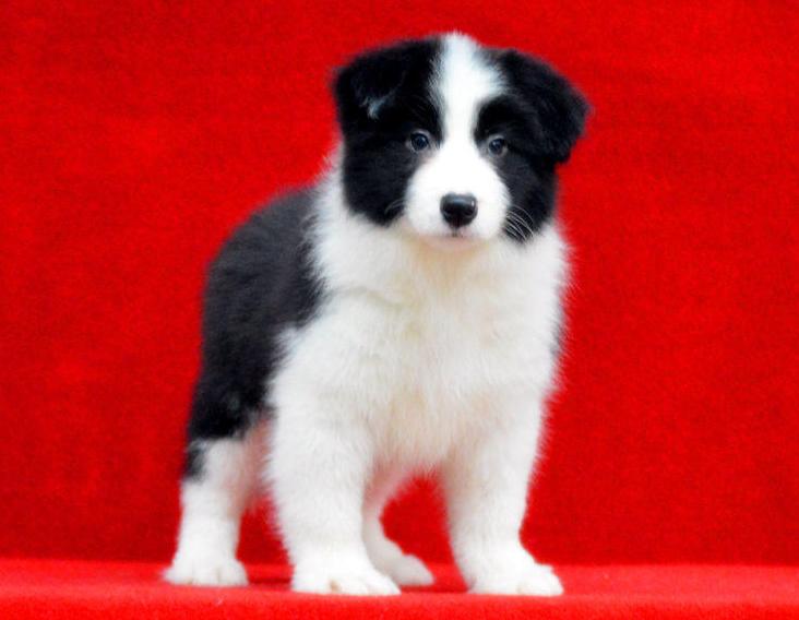 重庆哪里有卖聪明的边境牧羊犬 重庆有卖边牧价格多少钱