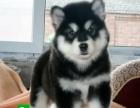 纯种大骨架巨型阿拉斯加出售,红色阿拉斯雪橇犬幼犬