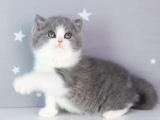北京房山蓝白猫幼崽猫舍在哪