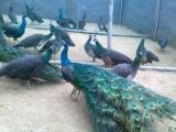 蓝孔雀养殖,孔雀苗价格,孔雀养殖成本蓝孔