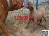 大骨架的苏联红犬怎么卖 成年苏联红犬种公多少钱一只