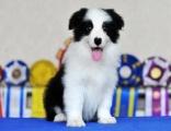 上海出售健康放心的边境牧羊犬宝宝 签定健康协议 纯种协议
