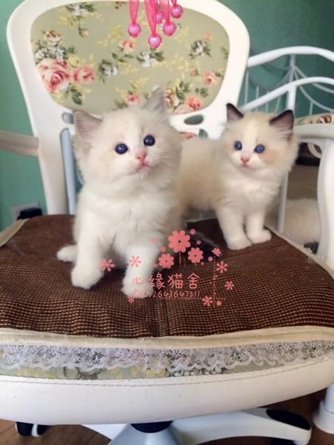 兰州哪里卖布偶猫较便宜多少钱一只 购买包健康多久