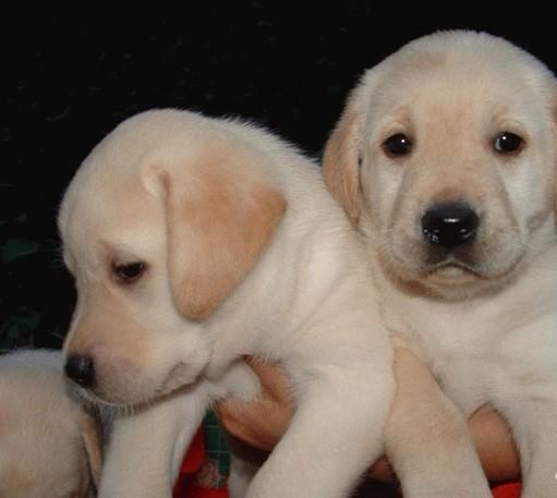 本地犬舍繁殖 神犬小七精品拉布拉多犬,帅气可爱,女神专属