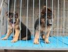 出售纯种德国牧羊犬狗狗确保纯种健康已打疫苗驱虫
