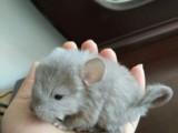 转让自家繁殖的小龙猫