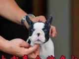 奶油法斗 虎斑色 纯种法国斗牛犬 幼犬出售 CKU认证犬舍