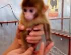 山东省烟台市哪里有卖袖珍石猴宠物猴