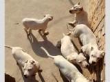 精品杜高犬多少钱一条 杜高犬价格