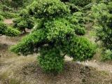 12公分罗汉松庭院景观造型 造型罗汉松树苗报价
