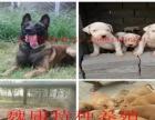 出售精品卡斯罗护卫犬、比特斗狗犬、宠物犬、等各种名犬