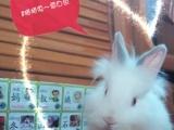 长期销售宠物兔肉兔苗