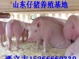 山东仔猪交易