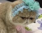 保定哪里有加菲猫卖 自家繁殖 品相极佳 多只可挑