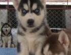 呆萌二货哈士奇幼犬 西伯利亚雪橇犬