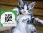 天津哪里有美短出售 天津美短价格 天津宠物狗出售信息