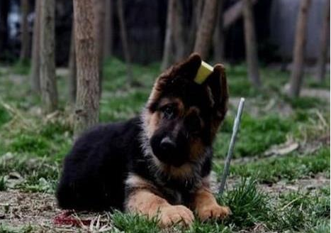 锤系德牧 黑背黑脸大头 锤系极品幼犬