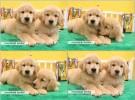 出售纯种美系大头金毛幼犬 纯种金毛巡回猎犬