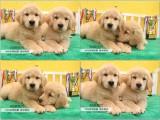 出售純種美系大頭金毛幼犬 純種金毛巡回獵犬